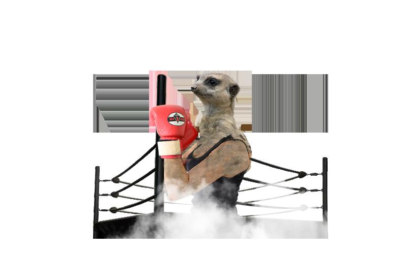 Suricata boxeador